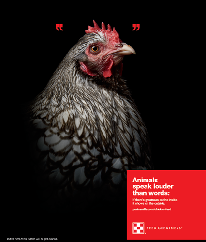 Hen In New Purina Ad Campaign